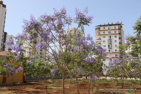 Mezitli'de Şehrin Ortasında Jakaranda Ormanı